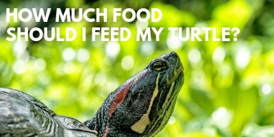 Just How Much Food Should I Feed My Turtle link picture