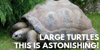 Large Turtles This is Astonishing picture link