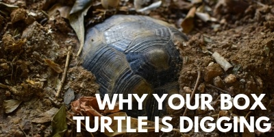 The Startling Truth Why Your Box Turtle is Digging link picture