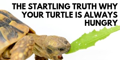 The Startling Truth Why Your Turtle Is Always Hungry link picture