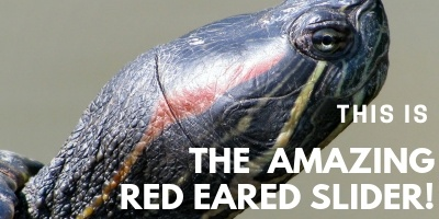 This is the Amazing Red Eared Slider picture link