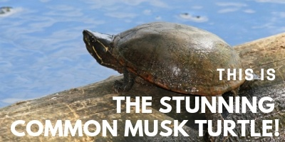 This is the Common Musk Turtle picture link