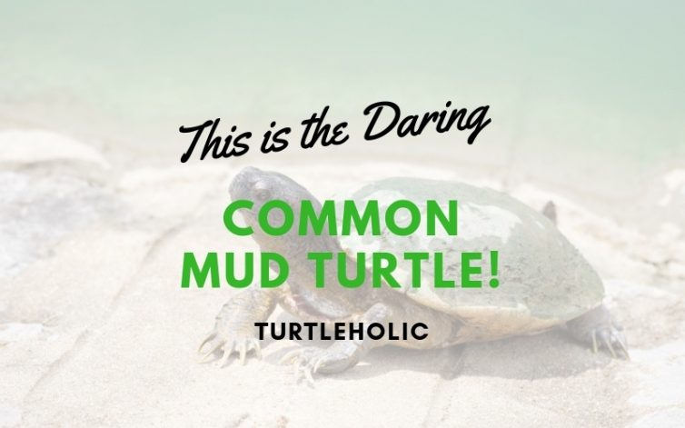 This is the Daring Common Mud Turtle main picture
