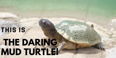 This is the Daring Mud Turtle picture link