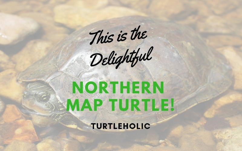 This is the Delightful Northern Map Turtle main picture