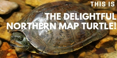 This is the Delightful Northern Map Turtle picture link