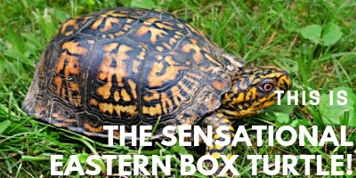 This is the Eastern Box Turtle picture link