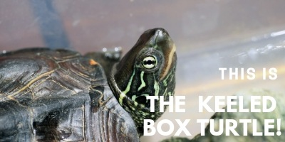 This is the Keeled Box Turtle picture link