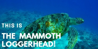 This is the Mammoth Loggerhead picture link