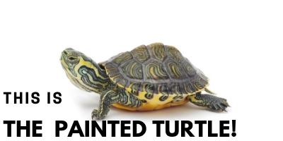 This is the Painted Turtle picture link