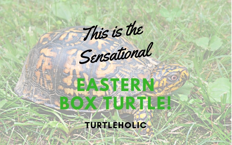 This is the Sensational Eastern Box Turtle main picture