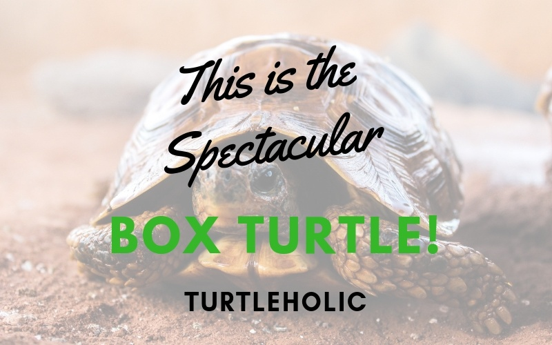 This is the Spectacular Box Turtle main picture