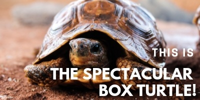 This is the Spectacular Box Turtle picture link