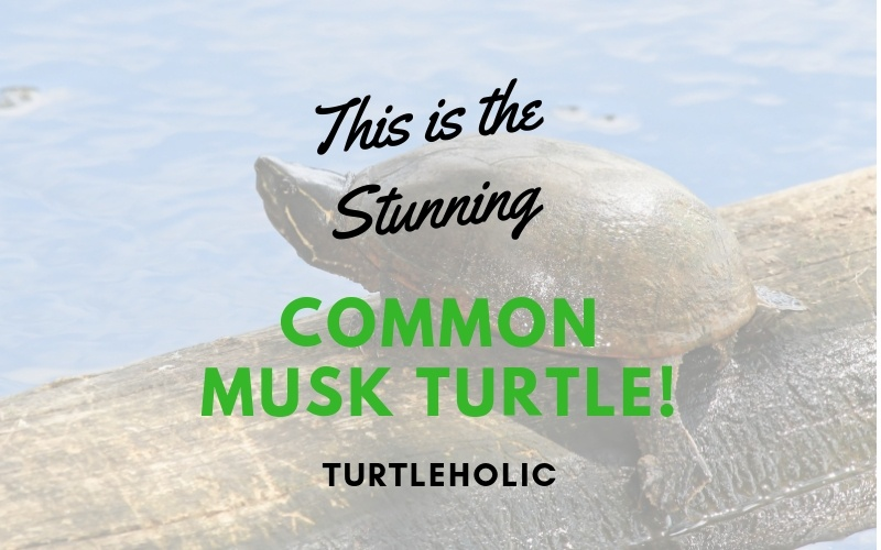 This is the Stunning Common Musk Turtle main picture