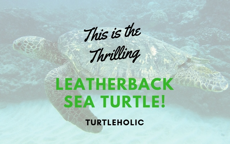 This is the Thrilling Leatherback Sea Turtle main picture
