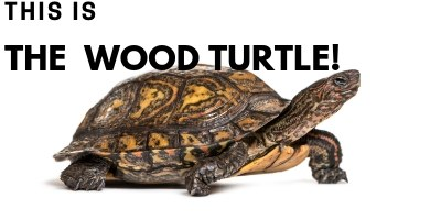 This is the Wood Turtle picture link
