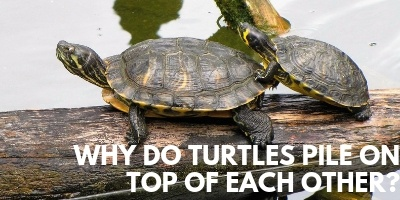 Why in the World do Turtles Pile On Top of Each Other link picture