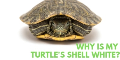 Why in the World is My Turtles Shell White link picture