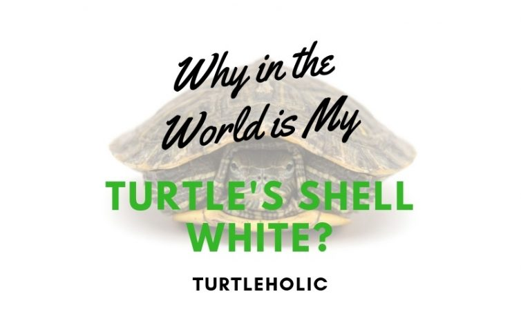 Why in the World is My Turtle's Shell White main picture