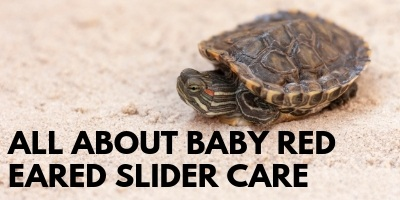 You Need to Know This About Baby Red Eared Slider Care link picture