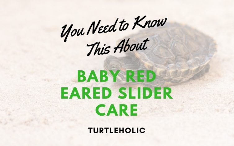 You Need To Know This About Baby Red Eared Slider Care Turtleholic