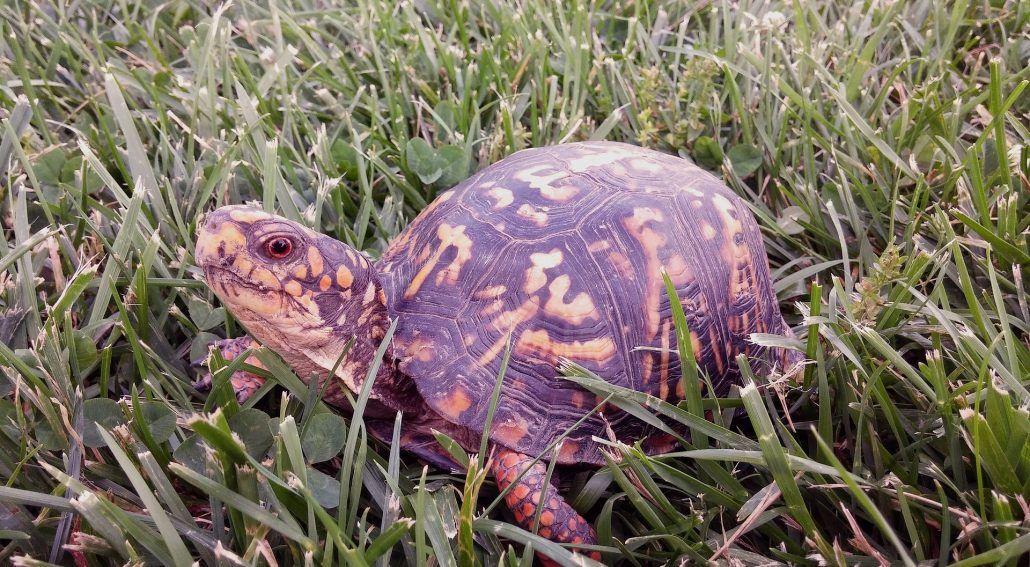 Just What Is Best Box Turtle Aquarium Size main