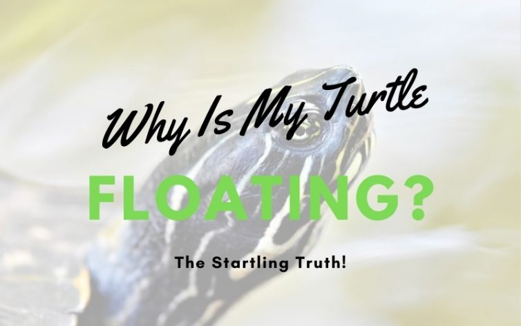 Why Is My Turtle Floating Featured Image