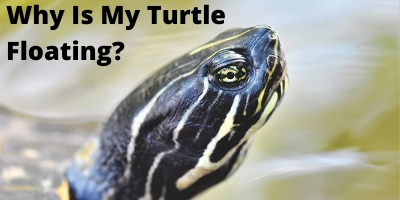 Why Is My Turtle Floating_ The Startling Truth Link Picture