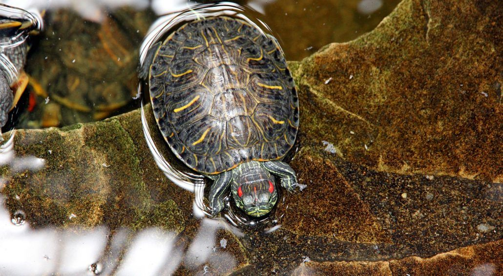 How Long Can Red-Eared Sliders Go Without Water
