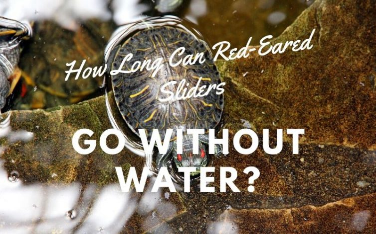 How Long Can Red-Eared Sliders Go Without Water main pic