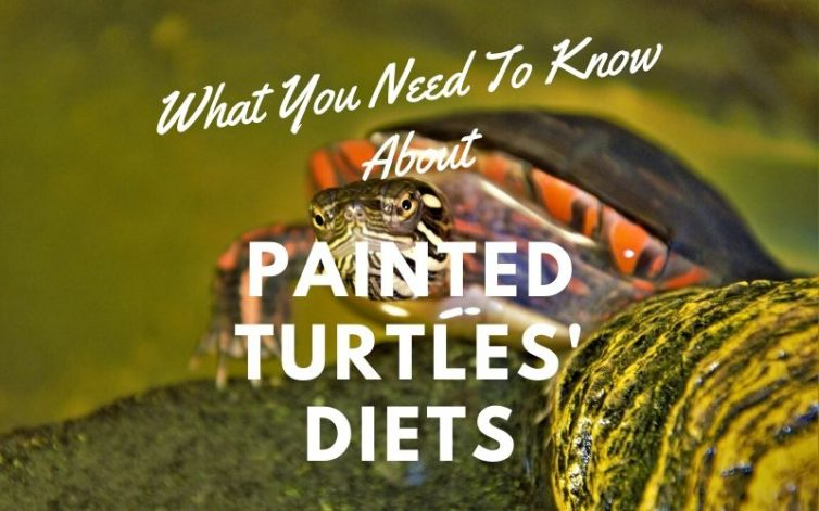 What You Need Know Painted Turtles Diets main picture
