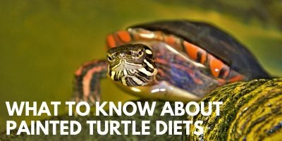 What You Need to Know Painted Turtle Diets Link picture
