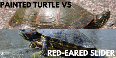 Painted Turtle vs Red-Eared Slider Link picture