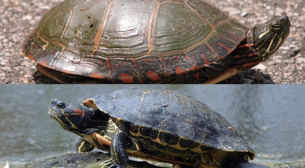 Painted Turtle vs Red-eared Slider featured image