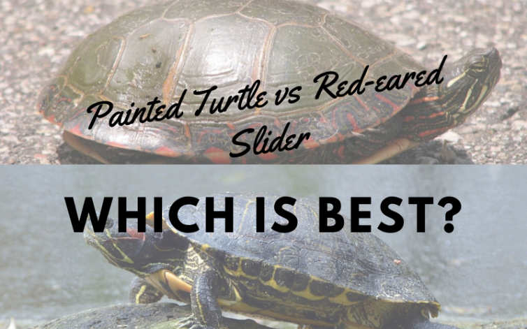 Painted Turtle Vs Red Eared Slider Which Is Best Turtleholic