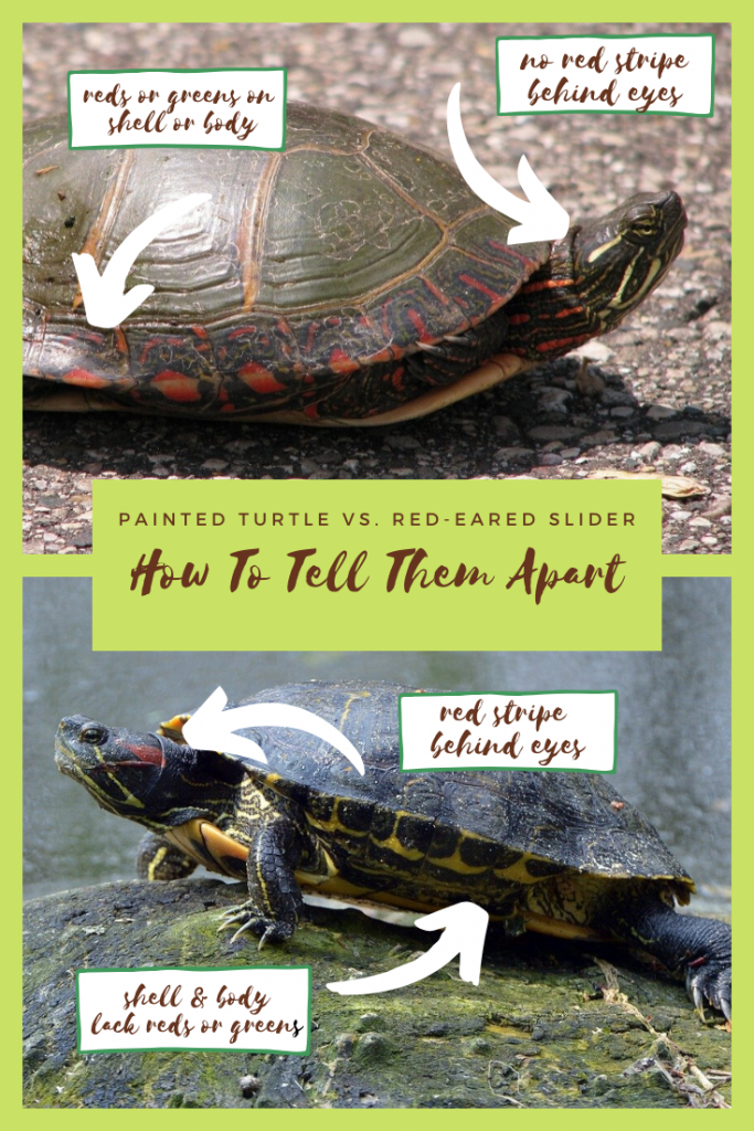 Painted Turtle vs. Red-Eared Slider Pinterest