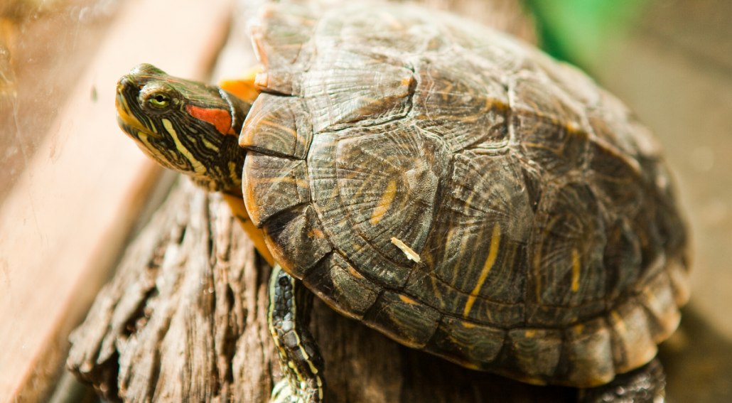 Red-Eared Slider Lighting Requirements