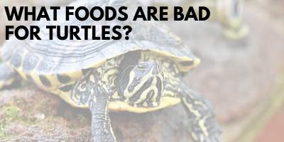 What Foods Bad Turtles link picture