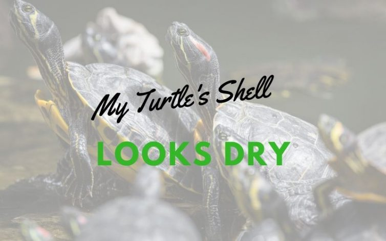 My Turtles Shell Looks Dry main pic