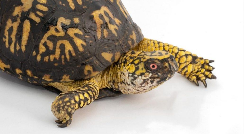 How to Set Up Indoor Box Turtle Enclsoure featured image