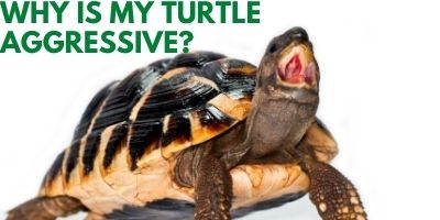 Why Is My Turtle Aggressive link picture