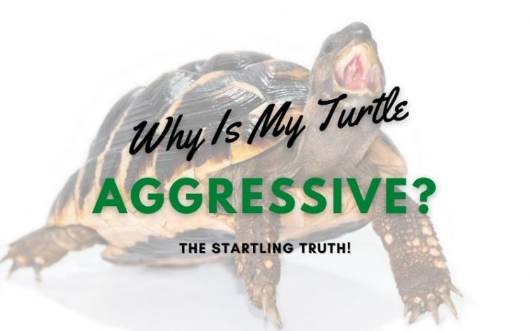 Why Is My Turtle Aggressive main pic