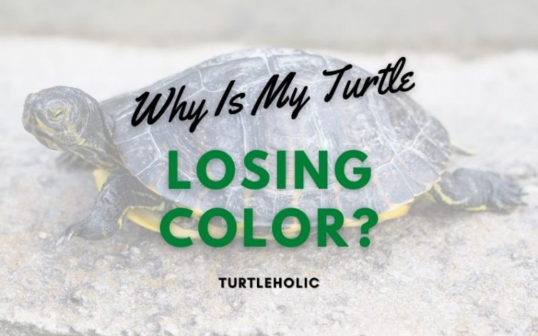 Why Is My Turtle Losing Color main pic