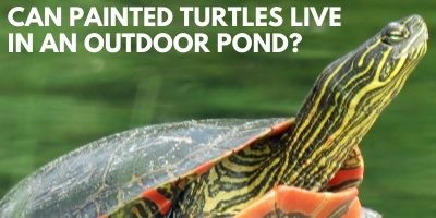Can Painted Turtles Live Outdoor Pond link picture
