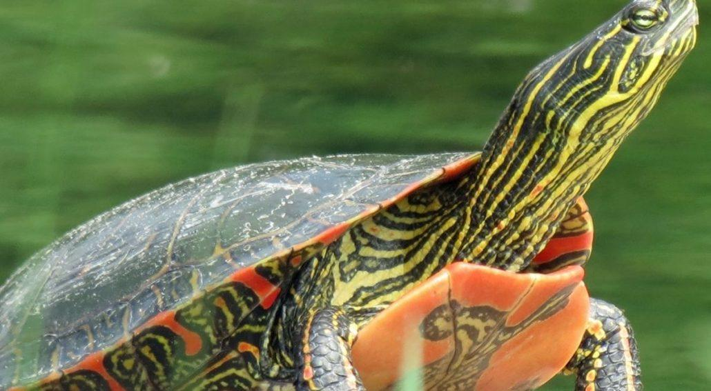 Can Painted Turtles Really Live Outdoor Pond featured image