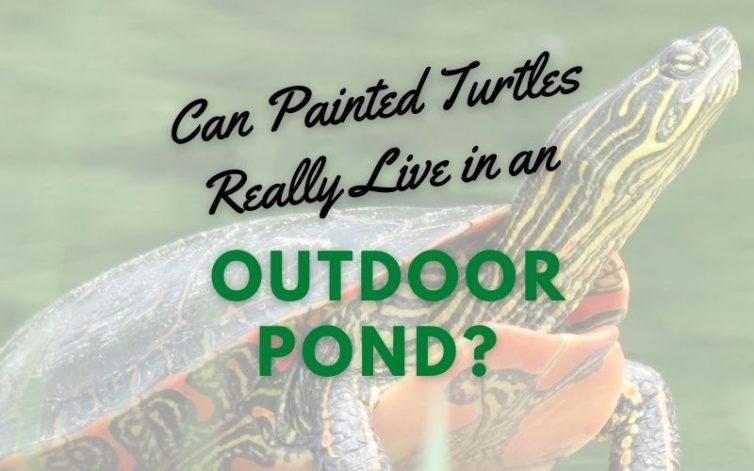 Can Painted Turtles Really Live Outdoor Pond main pic