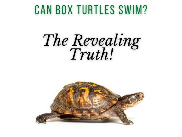 Can Box Turtles Swim Main Picture