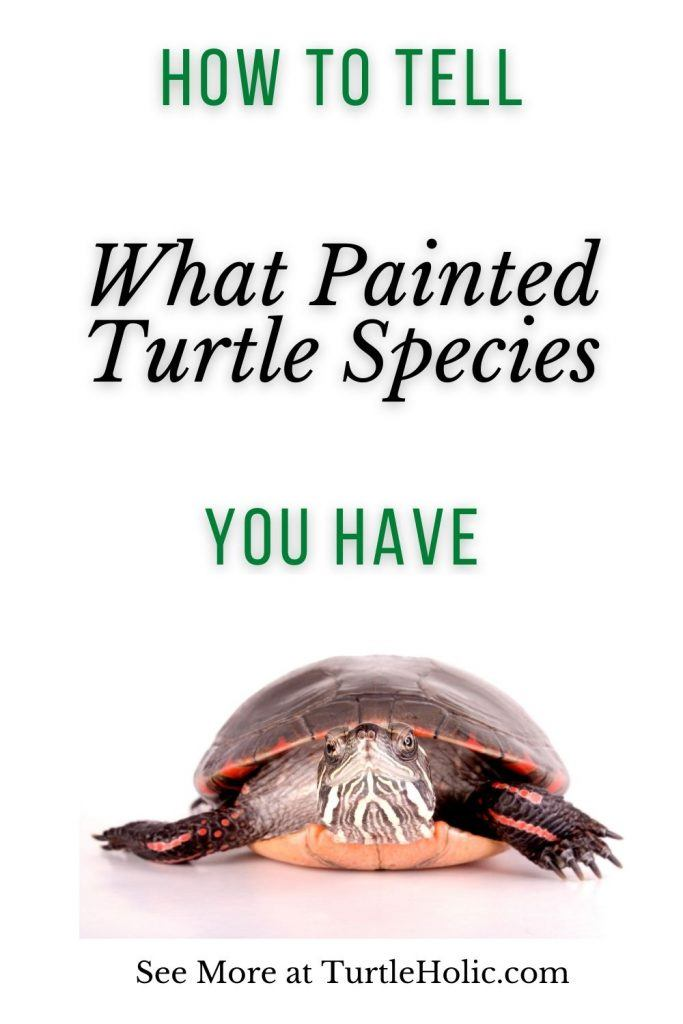 How Tell What Painted Turtle Species You Have