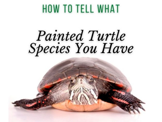 How to Tell What Painted Turtle Species You Have Main Picture