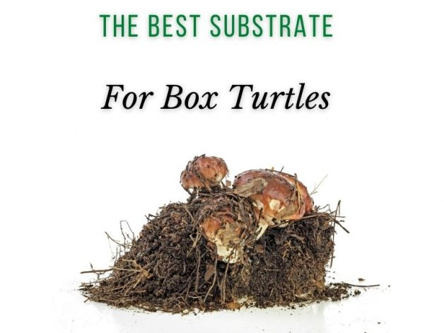 The Best Substrate for Box Turtles Main Picture